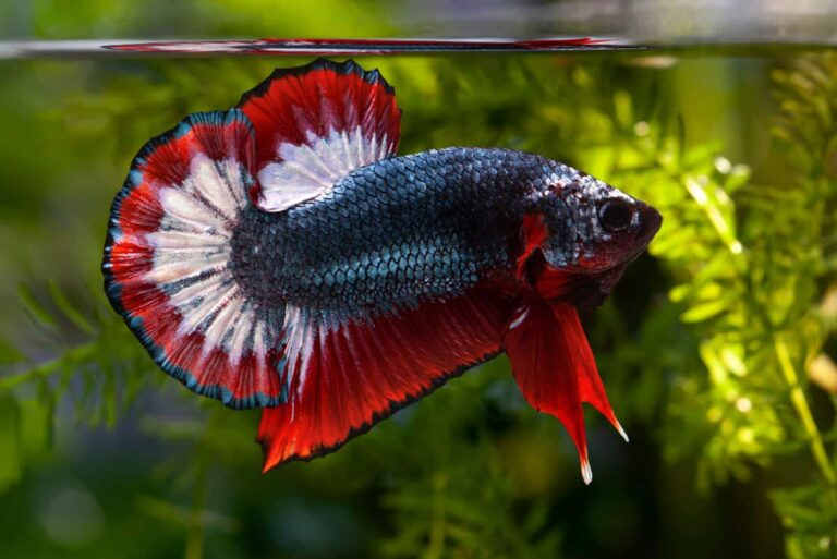Have You Ever Heard About Betta Fish? Today We Know it More.